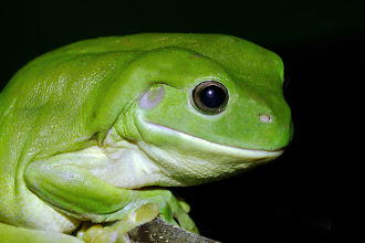 Photo: Green Tree Frog