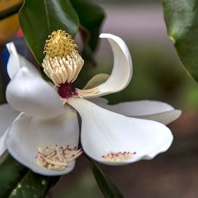 Fading Magnolia by Debbie Duggar - Flowers Single Flower ( houston, beauty, fading, flowers, magnolia )