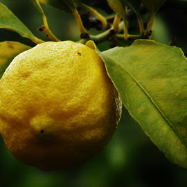 Lemon by Sarah Harding - Novices Only Flowers & Plants ( colour, fruit, novices only, yellow, close up,  )