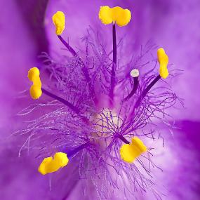 Violet by Adrian Urbanek - Flowers Single Flower