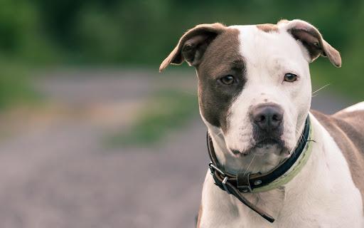 Pitbull Live Wallpaper Animal