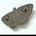 Wavy Owl Moth
