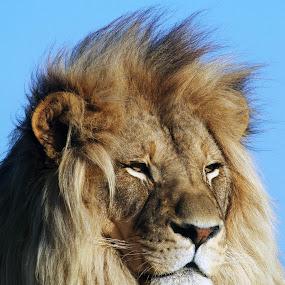 Lion by Gavin Falck - Animals Lions, Tigers & Big Cats ( big cat, predator, lion, wildlife, animal,  )