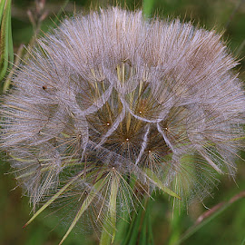 Nature's Patterns by Chrissie Barrow - Nature Up Close Other plants ( plant, wild, pattern, grass, green, jack-go-to-bed-at-noon, goat's beard, meadow salsify, seeds, cream, closeup, seedhead )