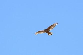 Photo: Coopers Hawk