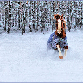 Sassy in the Snow by Anita Atta - Animals Horses ( love, field, galloping, tennesse walker, snow, horse,  )