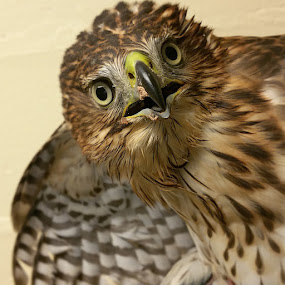 1st year Red Tail Hawk  by Rusty Jhorn - Animals Birds ( birdsofprey, hawk,  )