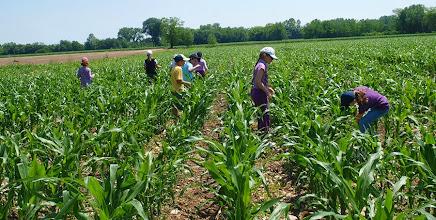 Photo: Raccolta dei cereali: il mais per la polenta