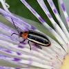 Pigweed Flea Beetle
