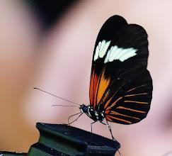 Photo: Kleiner Kurier (Heliconius erato lativitta, engl. Red Postman). Er wollte wohl unb edingt fotografiert werden, denn er setzte sich auf eine Kamera. Am Amazonaszubringer Rio Napo auf 300 m NN.