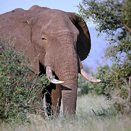Old Bull by Pieter J de Villiers - Animals Other