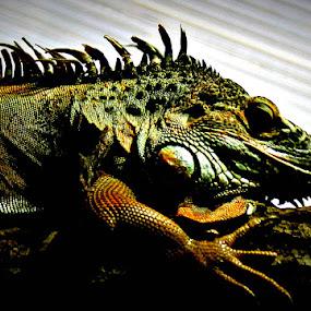 KROKOS GUSTER by Branko Levačić - Animals Reptiles
