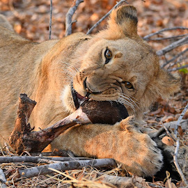Buffalo for breakfast by Steven Liffmann - Animals Lions, Tigers & Big Cats