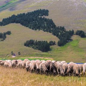 Italy and Italians! by Roberto Melotti - Landscapes Prairies, Meadows & Fields ( roberto melotti, sheeps, italians, italy )