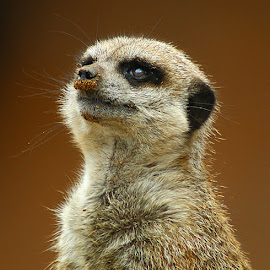 Sandy Nose! by Chrissie Barrow - Animals Other Mammals ( nose, fur, sandy, animal, meerkat, portrait )