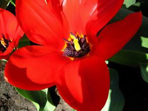 Photo: Tulipe rouge dans le parc floral du Keukenhof.