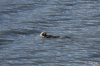 Photo: Seeotter