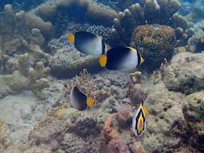 Photo: Chaetodontoplus mesoleucus (Vermiculated Angelfish), Chindonan Island, Palawan, Philippines.