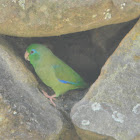 Lorito -  Spectacled Parrotlet