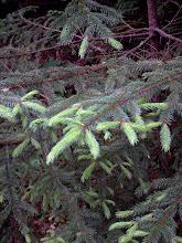 Photo: Burgeon d'épinette/ spruce tip