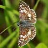 Common White Checkered Skipper Butterfly