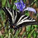 Pallid swallowtail
