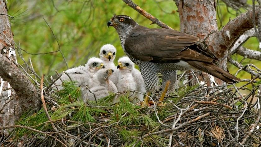 El azor es un ave protegida por la legislación de la comunidad andaluza.