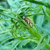 Τhe spotted fritillary (pupa)