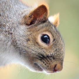 Gray Squirrel portrait by Skip Spurgeon - Animals Other Mammals ( close up, squirrel, grey squirrel, gray squirrel )