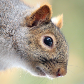 Gray Squirrel portrait by Skip Spurgeon - Animals Other Mammals ( close up, squirrel, grey squirrel, gray squirrel )