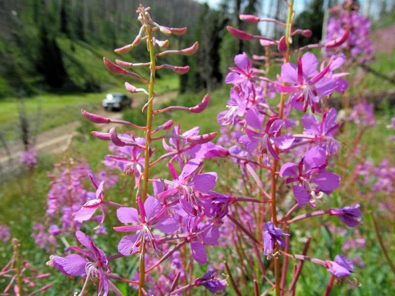 Photo: Fireweed (Chamaenerion angustifolium)
