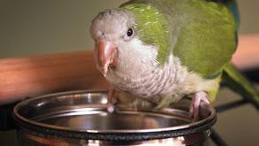 One Fat Parakeet thumbnail
