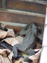 Photo: 獻升老師教我:「此為盤古蟾蜍,出現於秋冬季節,另一種蟾蜍為黑眶蟾蜍,出現於春夏,眼下有黑眶特徵 (這一隻沒有,所以排除這一種蟾蜍)。」攝於中棟與北棟間車道旁