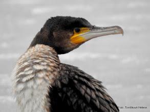 Photo: Kormorán velký (Phalacrocorax carbo)