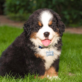 8 week old Moose by Dale Slater - Animals - Dogs Puppies ( ball, fluffy, bernese mountain dog, puppy, playtime )