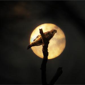 Hawk and the Moon.jpg