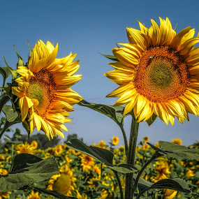 Sunflower by Jasminka  Tomasevic - Flowers Flowers in the Wild