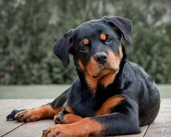 Ротвейлер | Собакопедия вики | Fandom