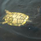 Pond Slider turtle (melanistic)