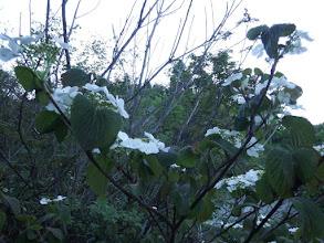 ムシカリの花