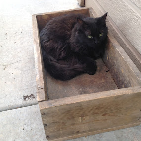 Cat in Box Study 2 by Diana Reed Kubec - Animals - Cats Portraits ( cat, summer, black cat, animal, brown cat,  )