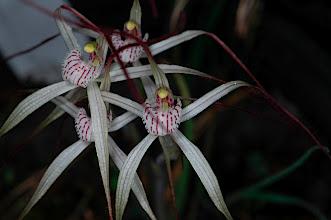 Photo: Caladenia vulgata