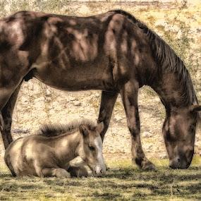 by Deb Bulger - Animals Horses ( foalanddad, wildllife, animals, foals, equine, hdr, horses, nature, savewildhorses, saltriverwildhorses )