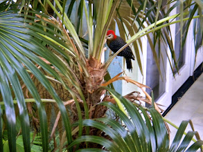 Photo: A Jamaican woodpecker came to visit several mornings.
