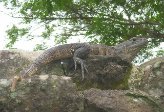 Photo: One of the many guard iguanas