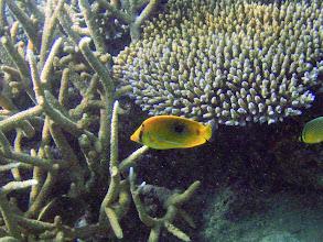 Photo: Chaetodon bennetti (Bennett Butterflyfish), Naigani Island, Fiji