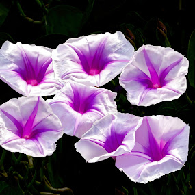 Wild Morning Glories by Joseph Vittek - Flowers Flowers in the Wild (  )