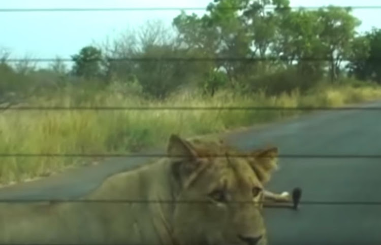 Lions on the road in the Kruger National Park.