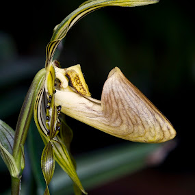 Lady Slipper Orchid by Basuki Mangkusudharma - Nature Up Close Flowers - 2011-2013 ( orchid, slipper, lady )