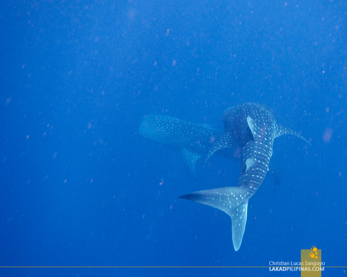 Maldives Whalesharks